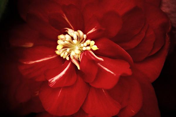 Madeira Begonia