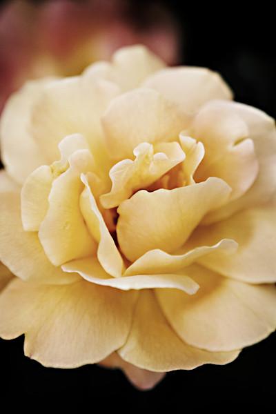 Daybreak Rose