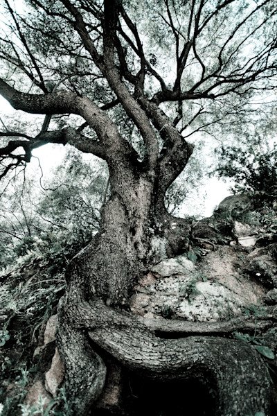 """Strong Roots"" Fine Art Photography by Karen Edmondson   Prophetics Gallery"