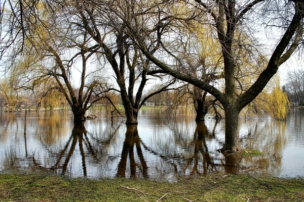 Willows In The Flood