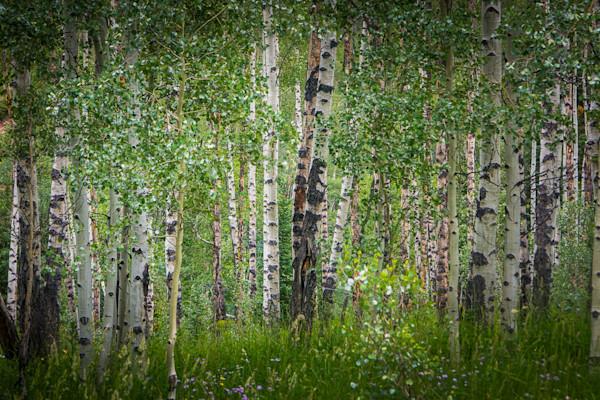 Colorado, Landscape, Photography, Aspens, Summer, Forest, Aspen Snowmass Wilderness,Conundrum Trail