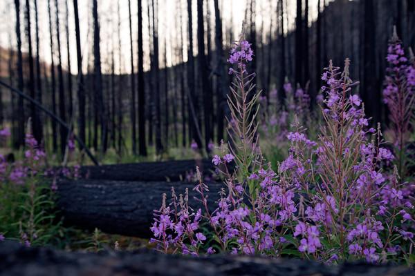 Fireweed in the Canyon Creek Burn