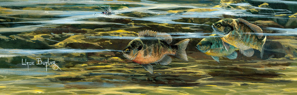 Bluegill Freshwater Fish