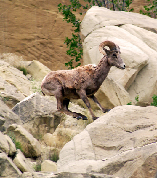 Young Big Horn Sheep, Jumping