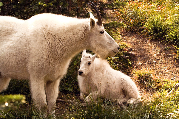 Mama and Baby Mountain Goat