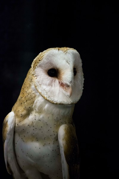 Barn Owl I - Black Photograph by Matt Jenkins | SavvyArt Market Art Prints