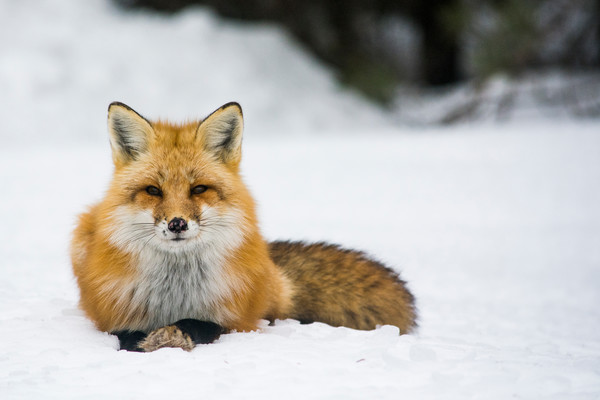 Red Fox II by Matt Jenkins | SavvyArt Market photography