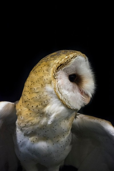 Barn Owl V - Black Photograph by Matt Jenkins | SavvyArt Market Art Prints