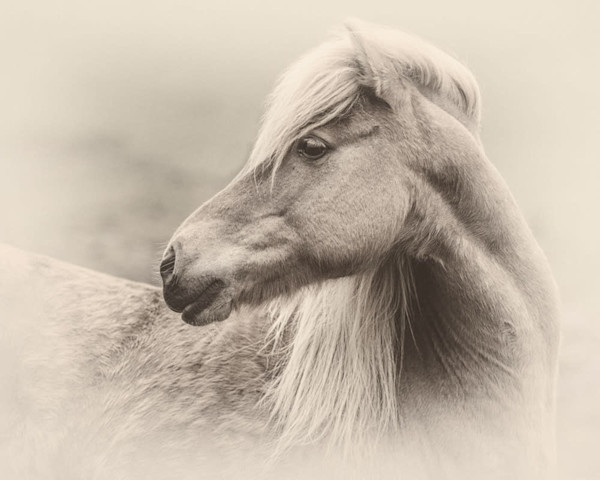 Portrait of an Icelandic Mare, sepia - Signed