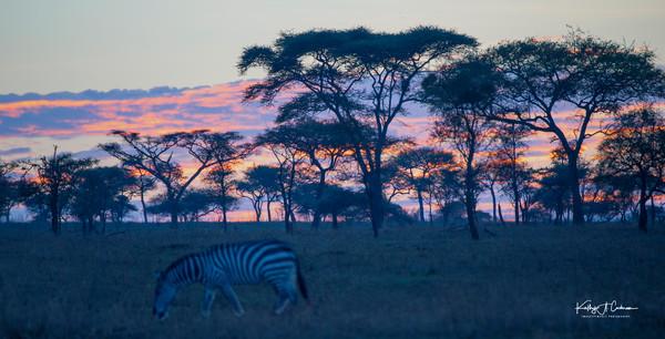 Acacia and Zebra Sunrise