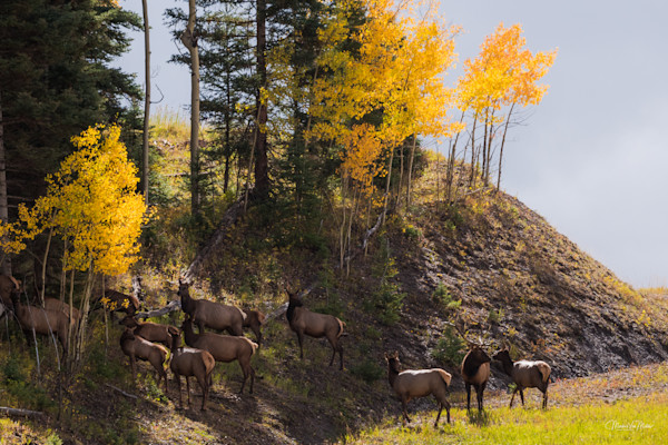 Markus Van Meter's Fall Colors Collection-Telluride Elk
