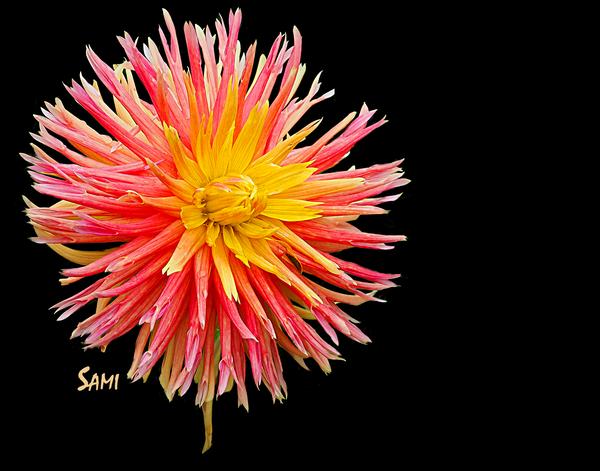 Drama - A Flower Study Art for Sale