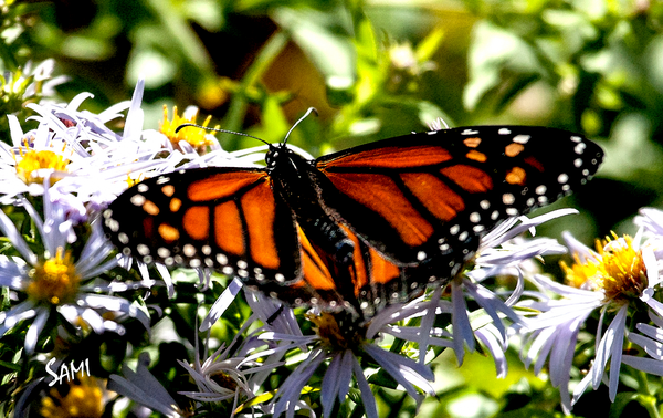 Monarch Butterfly in Autumn Photograph Art for Sale