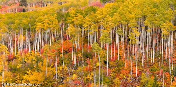 Aspen Forest in Autumn photo