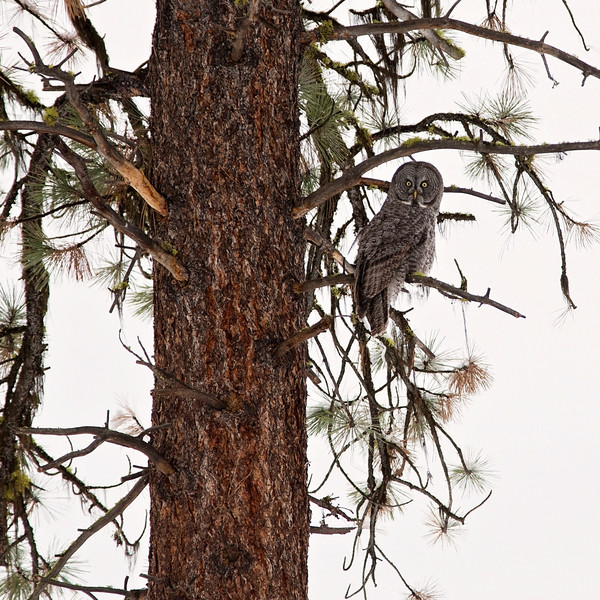 Great Grey Owl perches in a ponderosa in the Wallowa Whitman National Forest