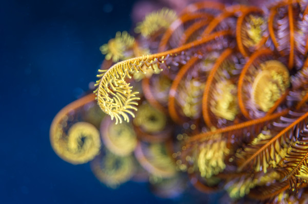 Crinoid #1 - Lumalihe, Solomon Islands 2012