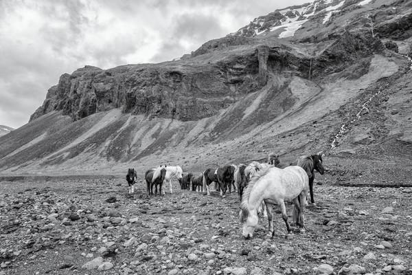 Canyon Herd, b&w - Skálakot Farm, Iceland 2015