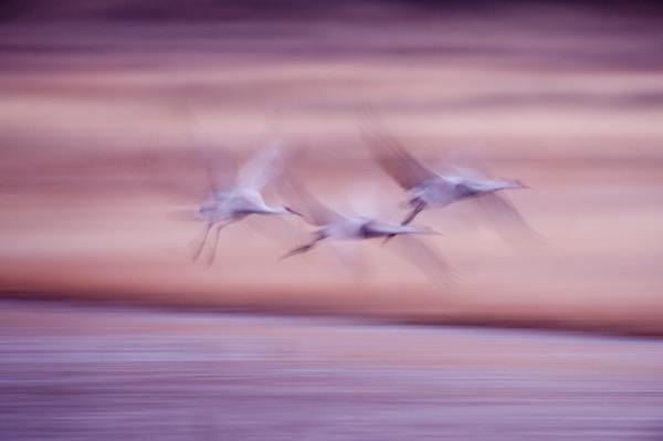 Wingbeats Trio - Bosque del Apache, Socorro, New Mexico 2009