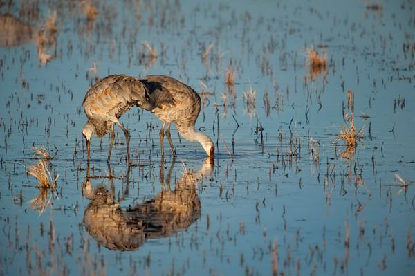 Reflected Cranes - Bosque del Apache, Socorro, New Mexico 2009