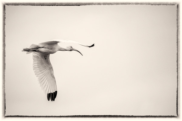 Storm Flight, b&w - Intracoastal Waterway near Southport, North Carolina 2015
