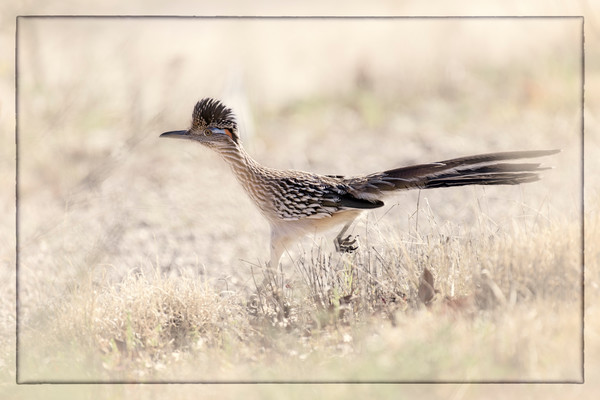 The Roadrunner - Tucson, Arizona 2016