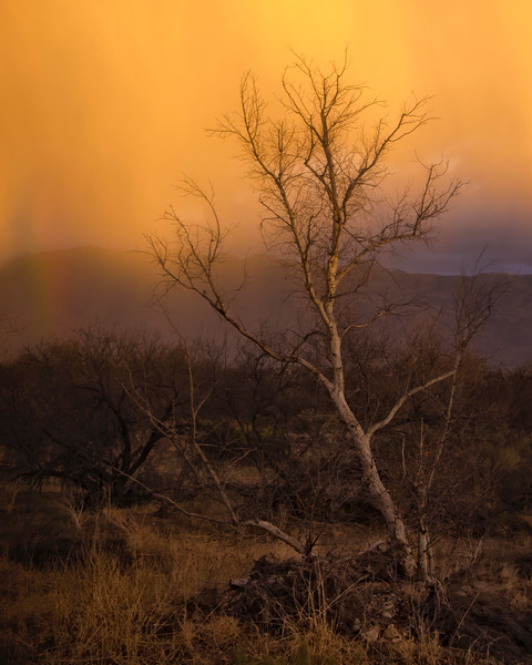 Rain of Gold - Tucson, Arizona 2007
