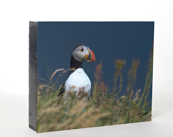 Atlantic Puffin (8x10)