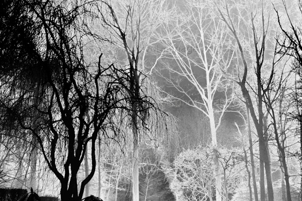 ely-dennis, trees in black and white