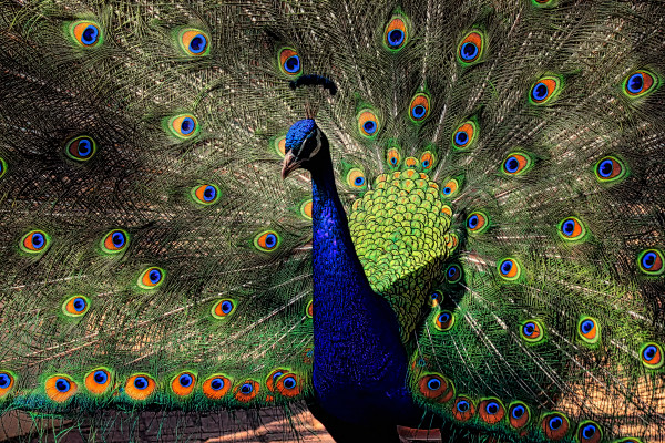 colorful, peacock, blue, eyes