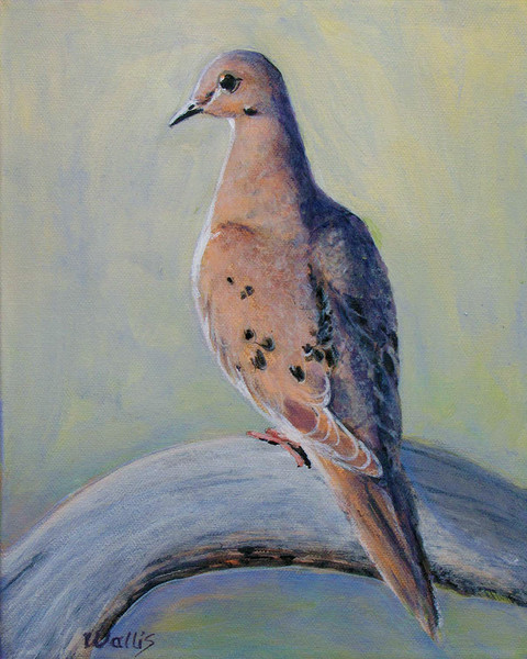 Mourning Dove AA