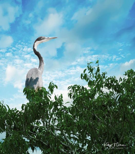 Treed Heron