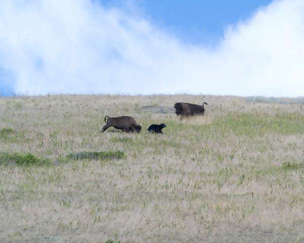 Bison Chasing Bear