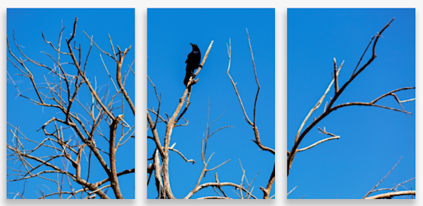 Male Brewer's Blackbird Atop A Barren Tree Multi-Panel Art Wall For Sale As Fine Art