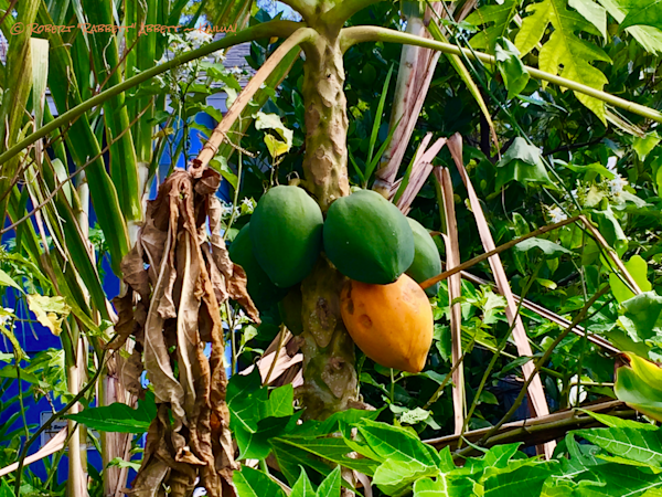 Papaya. Ready to eat. Papaya being ignored. Hawaii papaya. healthy papaya. Papaya in Hawaii.