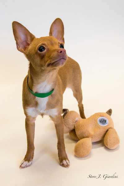 Chihuahua w-toy (161563ANND8) Photograph for Sale as Commercial Product or Digital Licensing Only