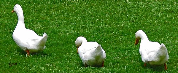 Follow Me - White Ducks photograph Art For Sale