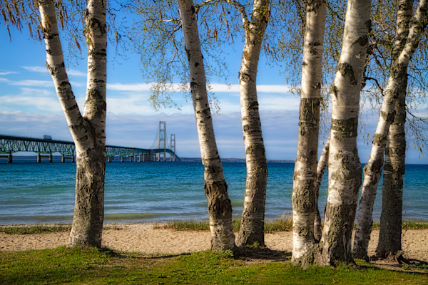 A view of the Mackinac Bridge through group of birch trees.