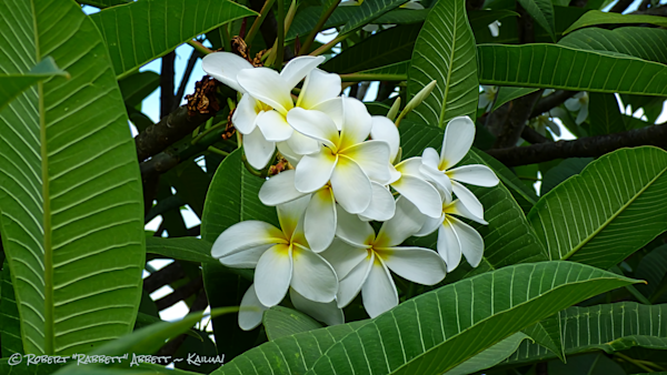 White Plumeria - Smell so good and the best place to buy Plumeria for you and your art lover is here online at Robert Abbett Art!