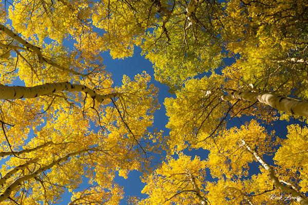 Canopy of Aspens