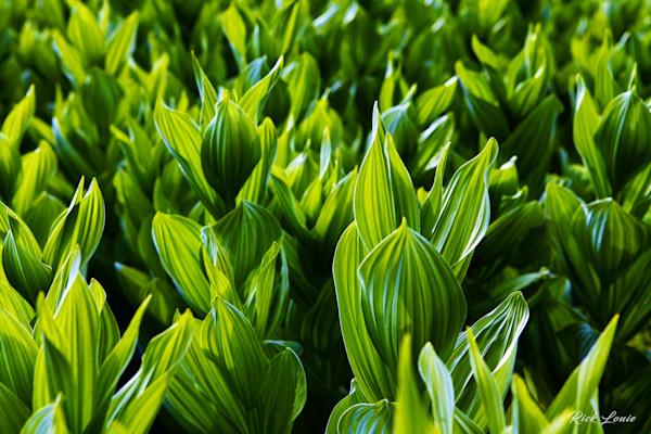 Corn Lillies
