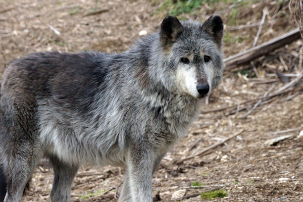 Wolves in the Spring Photographs by Lisa Warren for Sale as Fine Art