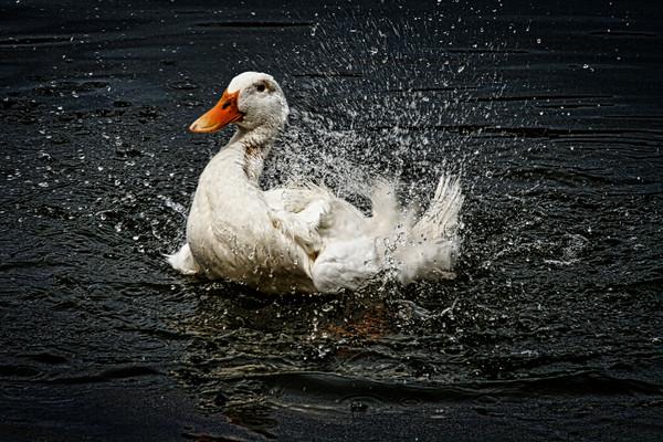 White Pekin duck cooling off.