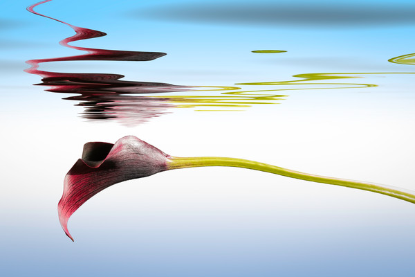 calla lily flower, calla lilies, flower stems, water reflections of art, art photographs, upside down,