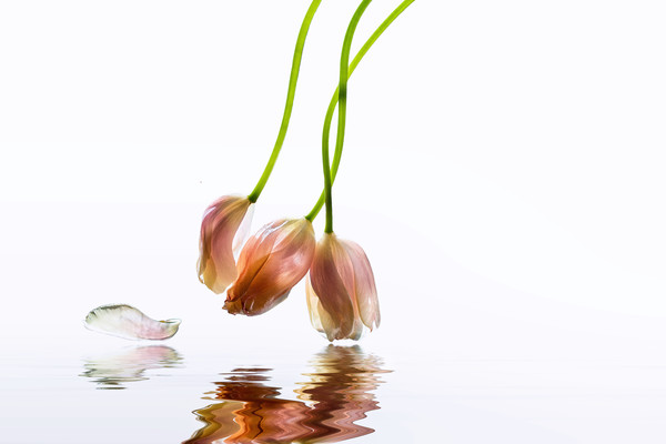 french tulips, tulip stems, tulip flowers, art photographs, reflections on water, studio flowers,