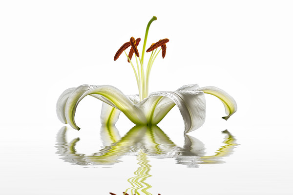 white lilies, lily flower, flower petals, pollen from flowers, art photographs, water reflections,