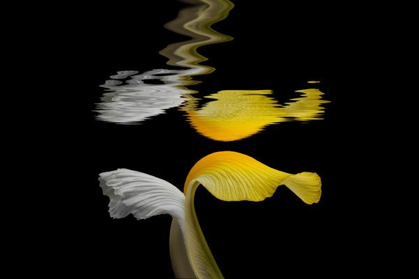 yellow iris flower, iris flowers, upside down, under water, macro flowers, reflections series of flowers,