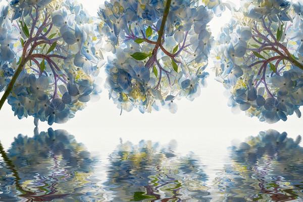 hydrangea flowers, bulb flowers, art photographs, studio flowers, blue and purple hydrangea flowers,