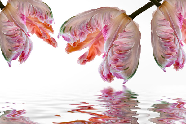 parrot tulips, colorful flower, art photographs, water reflections, mirror images, pink and orange flowers,