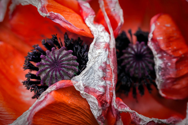 poppy flower,s pollen, red and black poppies, macro blooms, flower art photographs,