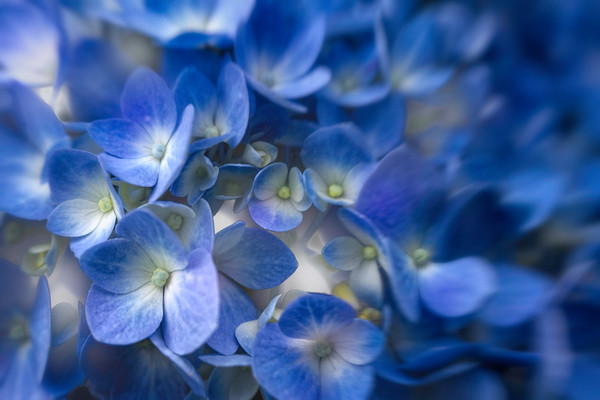 hydrangea, flower, blue, blossoms, macro, close,